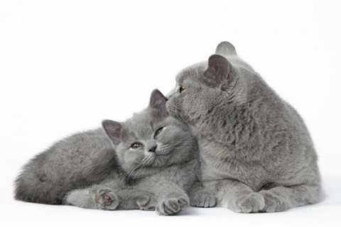Photo de nos chatons British Shorthair